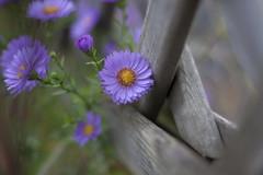 Autumn fence (milance1965) Tags: canon 50d herbst autumn fence rand zaun zaunblume garten 50mm 1 4