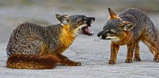 Foxes Fight CINP DSC_5115