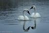 Together Forever (OJeffrey Photography) Tags: wy yellowstonenationalpark ynp wyoming birds wildbirds wildlife swans pair couple trumpeter snow twilight reflection ojeffreyphotography ojeffrey jeffowens nikon d500