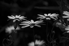 blackandwhite (Greg Rohan) Tags: monochrome blackwhite blackandwhite bw plant nature bloom spring flower daisy flowers d7200 2017 macro