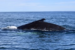 "Humpback Whale • <a style=""font-size:0.8em;"" href=""http://www.flickr.com/photos/97804790@N07/37379524150/"" target=""_blank"">View on Flickr</a>"