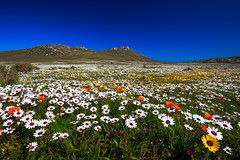 It's Spring in the South (Luc Stadnik) Tags: spring flower bloom southafrica westcape westcoast