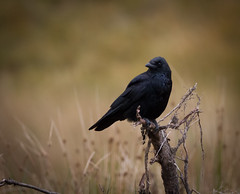 (mak_9000) Tags: crow avian