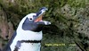 WBY4852-16 7D2-100 Penguin calling for fish (wbyoungphotos) Tags: halloween feeding animal penquin sealion 7d2 100400mm l lens wbyoungphotos zoo keeper fish trick treat