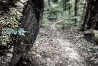Focusing on ivy leaves - A walk in the wood -