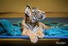 Sumatran Tiger Cub (ToddLahman) Tags: sumatrantiger baby babysumatrantiger tiger tigers tigercub beautiful delta sandiegozoosafaripark safaripark sandiegozoosafariparkacc animalcarecenter canon7dmkii canon canon100400 closeup mammal male indoor