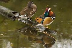 Mandarijneenden - Mandarin ducks (Den Batter) Tags: nikon d7200 blijdorp dierentuin zoo mandarijneend mandarinduck aixgalericulata
