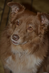 Aging Gracefully (One Day Of Sun -- It's So Lovely!!!) Tags: odc aginggracefully ddc 2175 showingyourage shes6 dog animal bordercolliemix chocolate red white