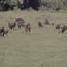 Gibbon baboons and young grazing. Ngorongoro