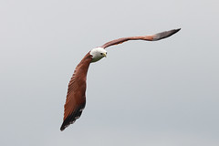 Bald Eagle (Rohit Tulsiyan) Tags: indian bird bald eagle fly gravity