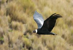 King of the sky! (Corey Hayes) Tags: ecuador weight up 33 lbs condor large bird