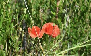Rosselles, les flors de l'entremig a  Escala Dei, Priorat,