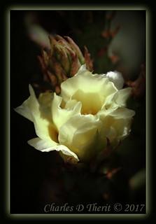 Flowering Opuntia robusta
