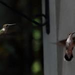 Ruby-throated Hummingbirds - North Carolina thumbnail