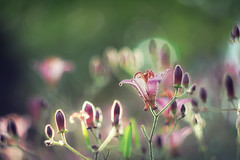 Tricyrtis hirta  ホトトギス (Tomo M) Tags: backllit ホトトギス flower plant bokeh helios nature light bright autumn outdoor bud
