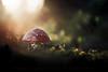The Dome (matthiasstiefel) Tags: fliegenpilz toadstool herbst autumn mushroom pilz bokeh sun sonne