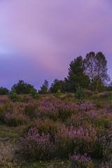 Ground challenging Sky (dlorenz69) Tags: heide heath erika heidekraut purple sky flowers blossoms blühen flower bloom september autumn herbst wiese natur nature wild evening abend abendstimmung mood sunset