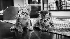 A tale of two kitties 😻 (stratman² (busy-taking care of Joey)) Tags: canonphotography powershotg7xmarkii blackwhite monochrome kitteh felinephotography chaton kittens kucing cute gattini iso2000