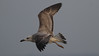 Kaspisk trut Caspian Gull Larus cachinnans (Bjorn Johansson) Tags: kaspisktrut caspiangull laruscachinnans