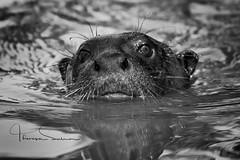 giant river otter mono (tsd17) Tags: otter mono giant river pantanal portojofre brazil wildlife 7dmk11 canon ngc