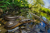 Graham's Crayfish Snake in Habitat (Tristan Schramer) Tags: grahams crayfish snake regina grahamii illinois natricine