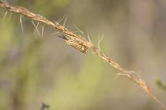 ¡Qué antenas! (esta_ahi) Tags: santperemolanta mariposilla polilla moth lepidoptera insectos fauna fonttallada penedès barcelona spain españa испания spiris striata coscinia cosciniastriata erebidae arctiinae