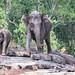 Wild elephants, #SriLanka 9608 as seen by #ArturoNahum