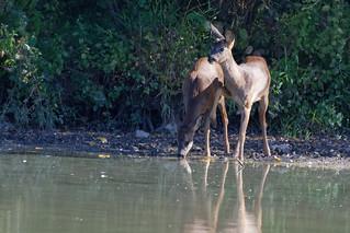 Chevreuil - Capreolus capreolus - Deer