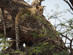PA012314 Leopard (Joanna P Dale) Tags: kgalagaditransfrontierpark tweerivieren olympus omdem1mkii panasonic100400 africanleopard leopard