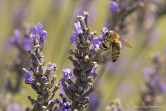 Diving In (martinaschneider) Tags: lavender lavenderfarm lavenderrows bee ontario farm summer