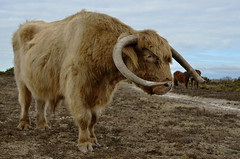 HEILAN COO (The New Forest)  -  (Selected by GETTY IMAGES) (DESPITE STRAIGHT LINES) Tags: heilancoo highlandcow highlandcows kyloe cow cattle heilancoosinthenewforest highlandcattleinbrockenhurst horns day cloud landscape nikon d7000 nikond7000 nikon18105mm nikkor18105mm boghaidhealach brindled fur grass field pasture farm farming hoof hooves dof photo photography frame raw image animal thenewforest newforest newforesthampshire thenewforestinhampshire brockenhurst hampshire england countryside rural getty gettyimages gettyimagesesp despitestraightlinesatgettyimages paulwilliams paulwilliamsatgettyimages ilobsterit