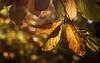 Autumn Love (Viktoria McKee) Tags: macrophotography macrolovers macroshots macroshot makro macroworld makrofotografie macrodreams macro macromood macrolove macrounlimited autumn fall bokehlicious bokeh bokehful forest woods sunshine sunlight backlight