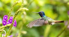 IMG_4076  Golden-tailed Sapphire_hummingbird (ashahmtl) Tags: goldentailedsapphire bird hummingbird sapphire chrysuroniaoenone copalingalodge zamora chinchipeprovince ecuador