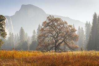 Lone Yosemite Elm