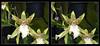 Longwood Gardens Flowers 15 - Crosseye 3D (DarkOnus) Tags: pennsylvania bucks county panasonic lumix dmcfz35 3d stereogram stereography stereo darkonus longwood gardens flowers scenic scenery flower botanical garden orchid orchids macro crosseye crossview ttw