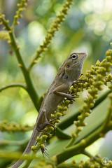 Lizard (Giovanni-Bianco) Tags: lucertola sony a6000 18200 thailandia thailand rettili ko samui macro camaleonte camaleont rettile closeup