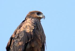 common Kite Eagle 01