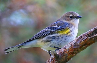 yellow-rumped warbler at Lake Meyer Park IA 854A9920