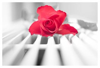 Rose and radiator