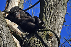 Schimpanse (Michael Döring) Tags: gelsenkirchen bismarck zoomerlebniswelt zoo goldeneroktober schimpanse chimpanzee afs200500mm56e d7200 michaeladöring