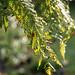 Berlin, IGA 2017: Baumfarnwedel mit Tau - Tree fern fronds with dewdrops