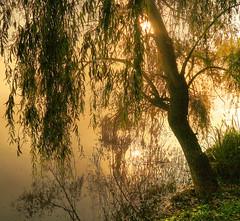 Cry me a river (Robyn Hooz) Tags: fiume salice riflesso rami it acqua albero spavento fear cry pianto gold oro
