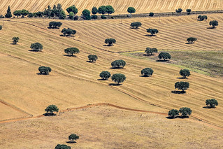 Evergreen Cork Oaks, Portugal