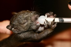 dinner time (parrotlady66..) Tags: squirrel baby babyanimals wild black food tiny wildlife