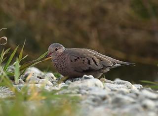 Colombe à queue noire - Common Ground-Dove