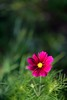 popping up red (l i v e l t r a) Tags: f14 d610 nikkor red flower petals bokeh
