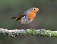 Rougegorge familier (jean-lucfoucret) Tags: plumage oiseau bird aves animal erithacus rubecula european robin passereau nikon d500 nikkor 200500 rougegorge familier