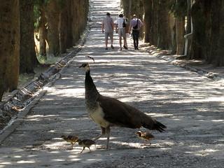 Filerimos Peacocks