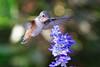 Buzzing (Life of David) Tags: california camarillo canon5dmarkiv selasphorussasin usa wildlife allenshummingbird backyard beautiful beauty bird cute feathers floating flying hummingbird nature wing wings world100f