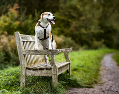 Mans best friend (mark.abrams81) Tags: pet dog beagle